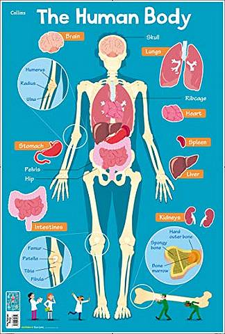 Collins Children's Poster: Human Body - Steve Evans - 9780008304812